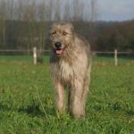 The Irish Wolfhound - Scamps & Champs