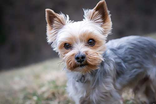 Yorkshire Terrier Breed - Scamps & Champs